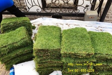 หญ้าพาสพาลัม ที่มีคุณสมบัติใบที่นุ่ม และ สีเขียวเข้มกว่า หญ้านวลน้อย