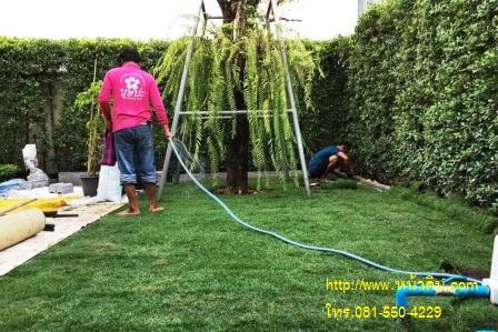 ทำการรดน้ำหญ้าพาสพาลัม หลังจากที่ลงหญ้าเสร็จ